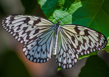 Georgetown, Malesia - main Island of Malesia, Penang is famous for its wildlife. Here in particular a colorful butterfly