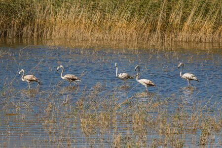 Van, Turkey - at the border with Iran, Van and its wonderful lake are splendid places to visit, with a stunning wildlife. Here in particular a colony of flamingos Stock fotó