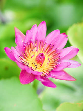 Beautiful pink water lily flower