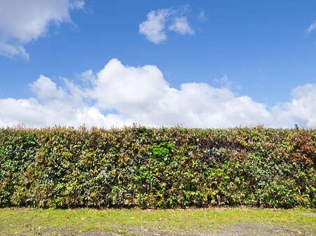 green plant shrub wall on blue sky