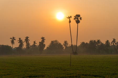 Field of Cutted Leaves Ricefield at Sunrise