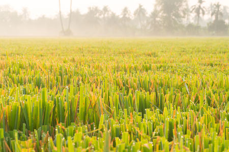 cutted: Field of Cutted Leaves Ricefield at Sunrise, Shallow depth of Field. Stock Photo