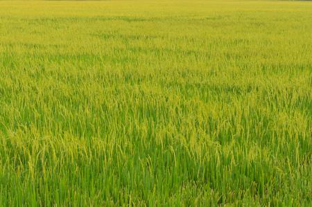 Green Rice field at Sunrise 免版税图像 - 54211878