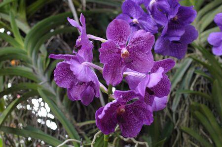 illustration: Vanda hybrid orchids