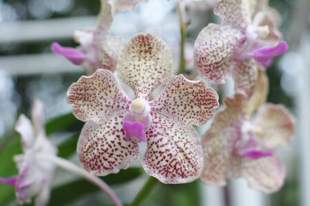 illustration: Hybrid orchids