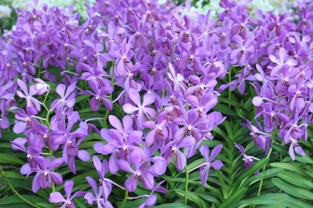 illustration: Purple orchids in a garden