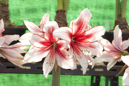 fres: White and red Amaryllis flower Stock Photo