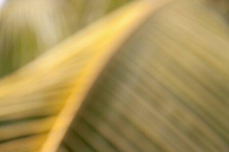 coconut leaf: Blur coconut leaf background Stock Photo