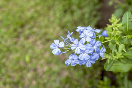auriculata: Blue Plumbago auriculata flower with space on background