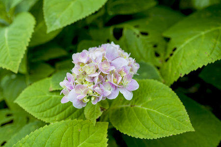 hydrangea flower: Young pink Hydrangea flower Stock Photo