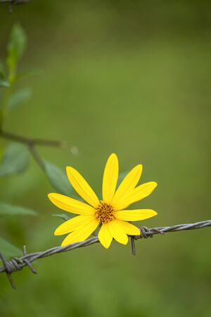 hopeful: Yellow flower on the barbed wire vertical style Stock Photo