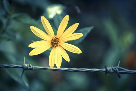 tone on tone: Vintage tone style yellow flower with blur barbed wire background Stock Photo