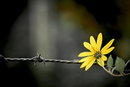 Amarillo de la flor del estilo de la vendimia en el alambre de púas Foto de archivo
