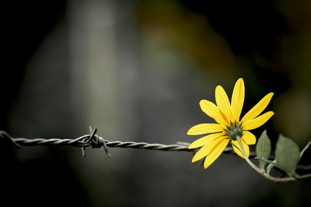 Vintage style Yellow Flower on the barbed wire Standard-Bild