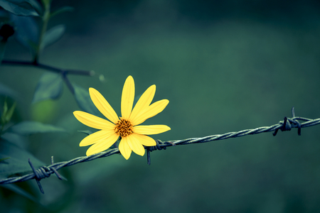 hopeful: Abstract background of Yellow flower on barbed wire vintage tone style