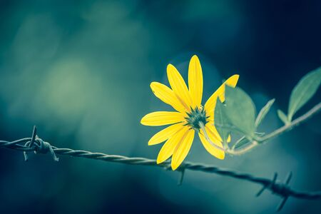 hopeful: Yellow daisy behind the wire fence vintage tone style