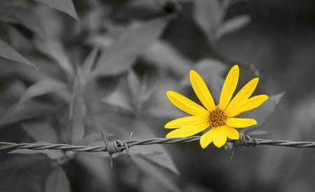 hopeful: Yellow daisy flower on vintage black tone background Stock Photo