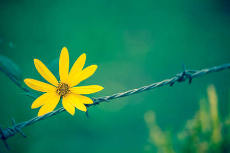Wire fence and yellow flower