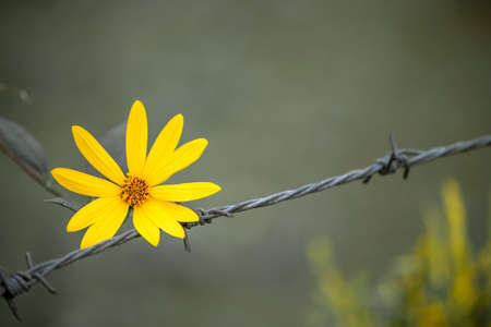 Yellow flower on wire fence