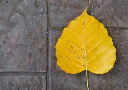 piso piedra: Yellow boh leaf on stone floor texture background