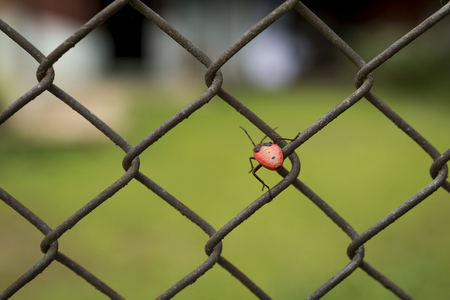 Red Mating Kapok Bug on wire fence with nature background Stock Photo