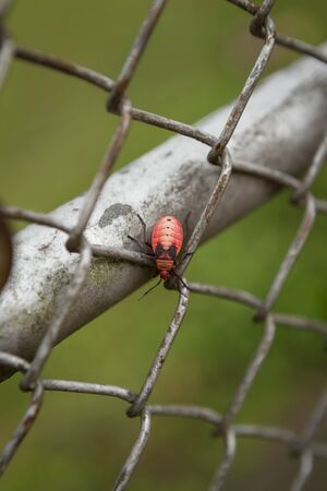 Beautiful red bug walking on wire fence Stock Photo
