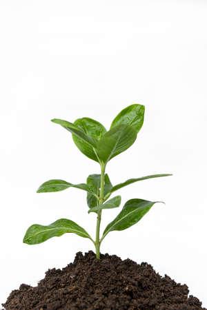 black soil: Young flower plant in black soil on white background Stock Photo