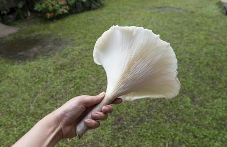 giant mushroom: The garden giant mushroom in Thailand Stock Photo