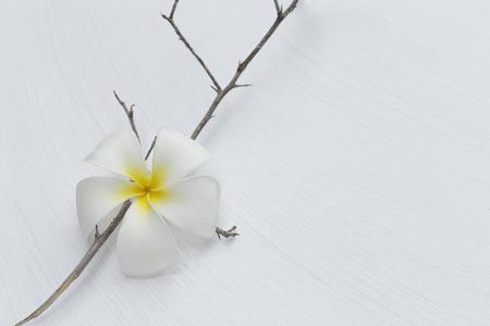plumeria on a white background: White plumeria flower on dry wood branch on white texture background