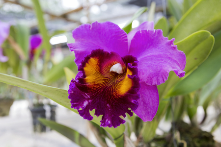 cattleya: Purple Cattleya orchid from the orchid farm in Thailand Stock Photo