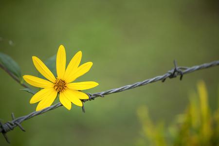 Freiheitskonzept, gelbe Blume auf Drahtzaun mit Raum auf natürlichem undeutlichem grünem Hintergrund