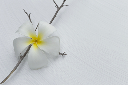 wood stick: White plumeria flower on dry wood stick with space on white background, fall season