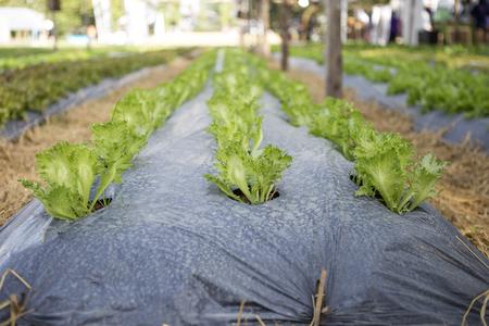 vegtables: Organic Iceberg lettuce garden in Thailand, Iceberg lettuce growing on mulch film