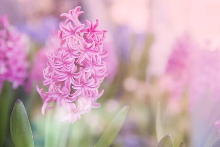 Abstract Pink Hyacinth Flowers background, vintage style