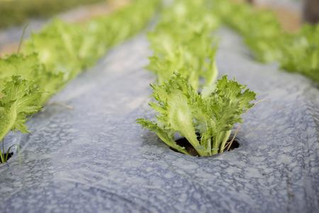 vegtables: Iceberg lettuce growing on mulch film, organic vegetable garden, selective focus