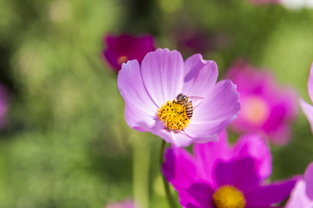 Beautiful cosmos flower over blurred green garden background, bee with colorful flower, nature concept background, outdoor day light