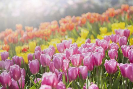 Colorful beautiful tulip flower garden, morning outdoor day light, nature concept background