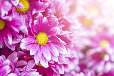 Pink daisy flower with morning flair light background, nature concept Stock Photo