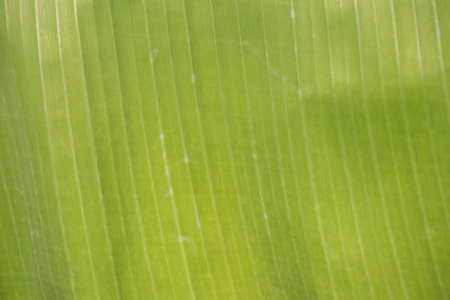 Nature texture concept background, abstract blurred green banana leaf texture background