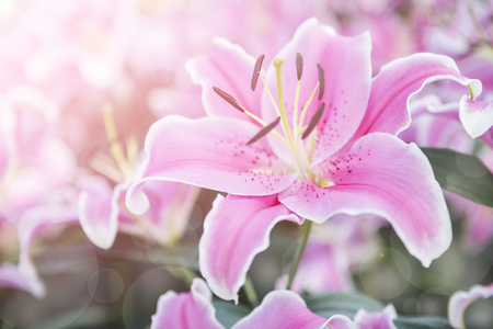 Beautiful pink lilly flower over blurred garden background with morning filter light