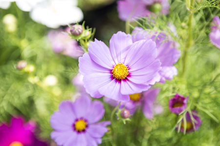 Beautiful colorful cosmos flower over blurred green garden background, nature concept, spring season