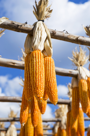Dry sweet corn hanging over blurred blue sky background, agriculture concept background