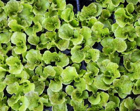 Fresh young green plant from top view, natural and healthy food concept