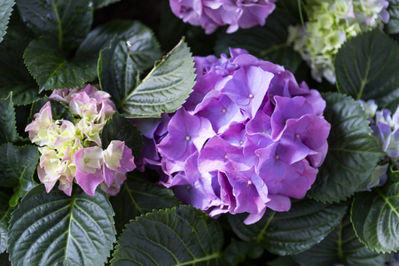 Purple Hydrangea flower from the garden, morning outdoor day light, nature concept background, spring season