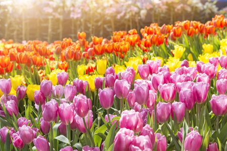 Beautiful colourful tulip flower garden with morning warm light, outdoor day light, nature concept background, spring and summer season Banque d'images