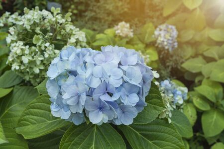 Beautiful blue Hydrangea flower over blurred garden with vintage warm light, nature and spring season concept