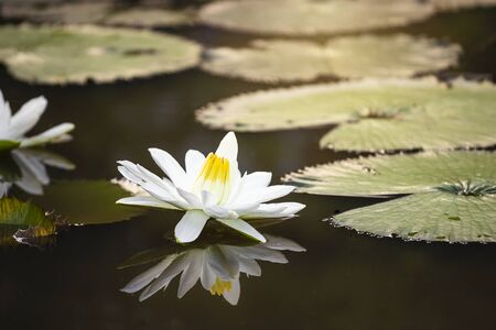 Beautiful White lotus in natural pond with outdoor morning warm light, nature concept, asia tropical Stok Fotoğraf