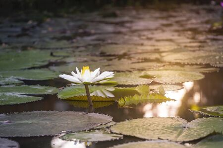 White lotus in natural pond with morning warm light, nature concept, asia tropical