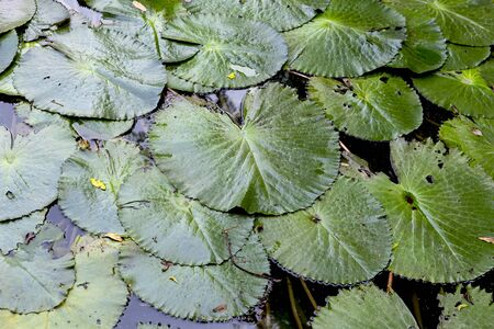 Green lotus leaves background, nature concept, lotus leaves floating on the pond, outdoor day light, tropical garden Banque d'images - 132078359
