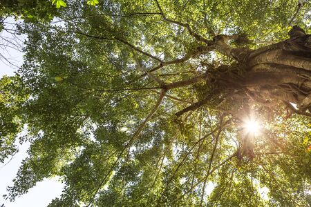 Big tree with vintage warm light, Under the big tree, ecological and nature concept, outdoor day light Stok Fotoğraf - 132458416